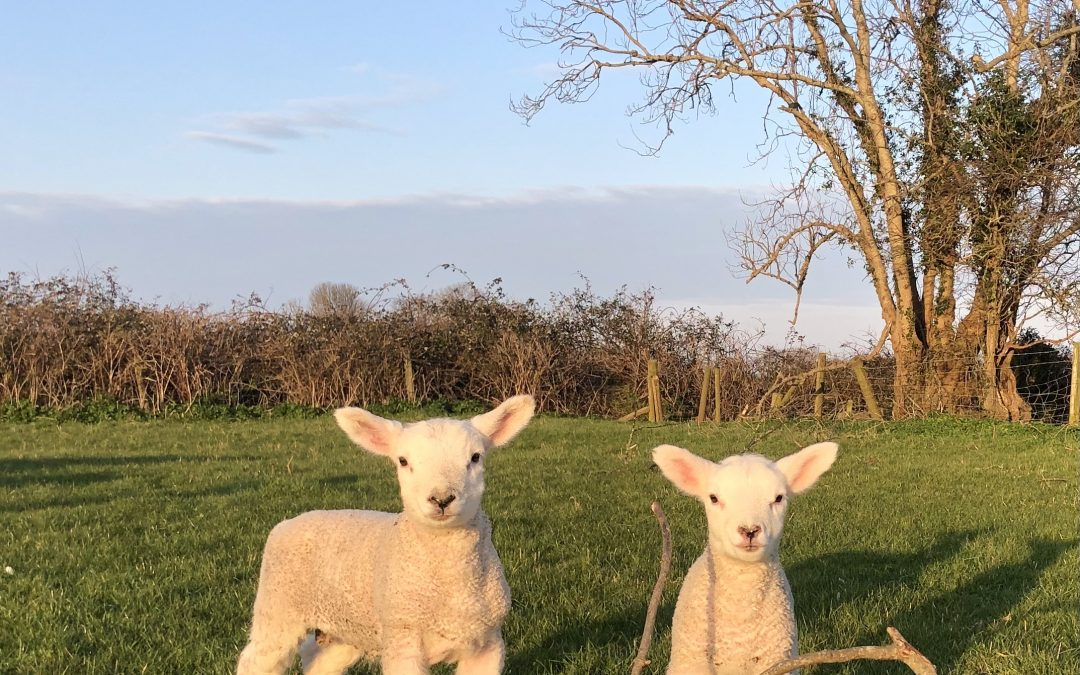 Lots of new arrival on the farm – baby lambs, chicks and rabbits
